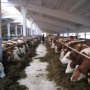 Племенной крупный рогатый скот в карачаево-черкесской республике