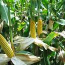 Надежда на урожай кукурузы в предотвращении продовольственного кризиса, угрожающему сша.