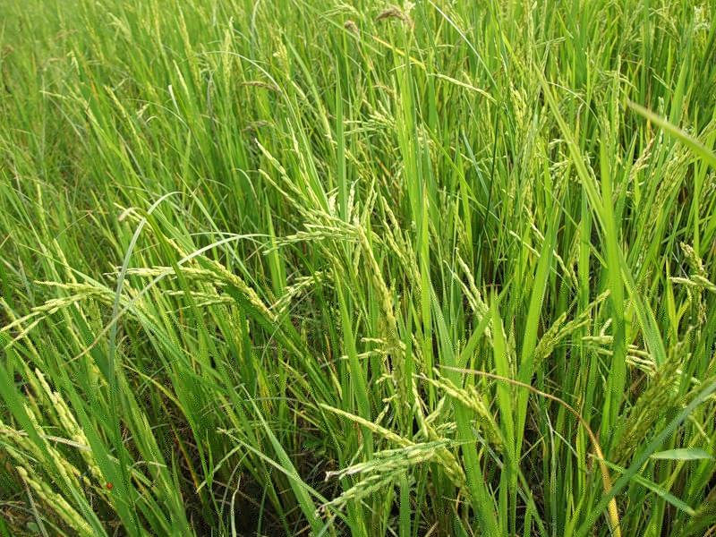 Рис – главный продукт сельского хозяйства Китая