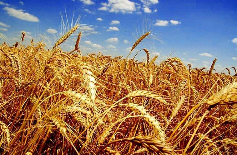 Урожай зерна в Калмыкии превысил прошлогодний на 100 тыс. тонн