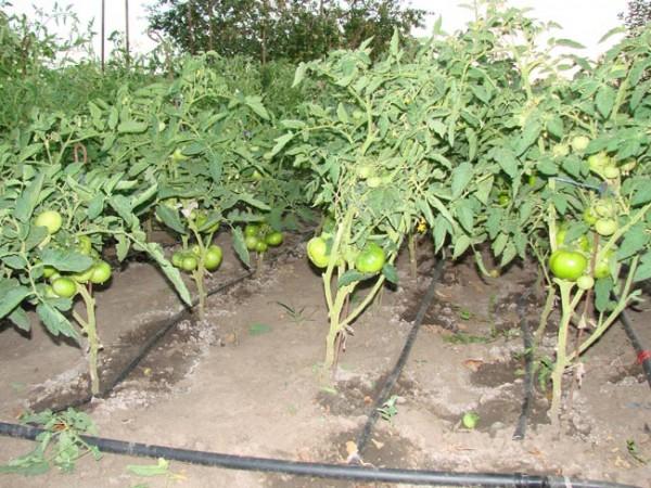 Как самому сделать удобрение для помидор