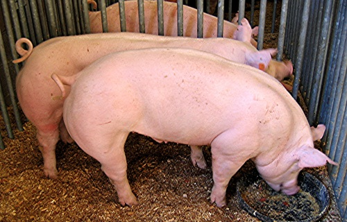 Специалисты петербургского Россельхознадзора проверили «Великолукский свиноводческий комплекс»