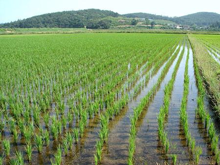 Российские зерновики и рисопроизводители получат поддержку
