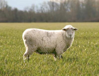 В Ярославской области снова обнаружено опасное заболевание мелкого рогатого скота