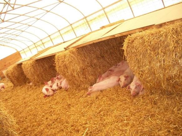 Сарай для свиней своими руками из дерева